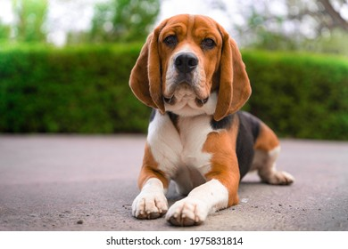 Cute beagle with serious face is lying on asphalt path outside during walk in city park, blurred background with green bushes and trees, front view. Portrait of lovely dog.
