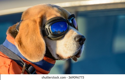 Cute beagle is sitting outside with his pilot glasses on.