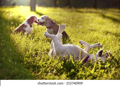 Cute Beagles playing in the park