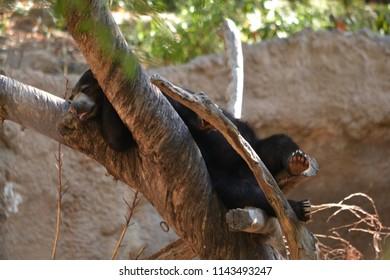 Cute bear sleeping in a tree