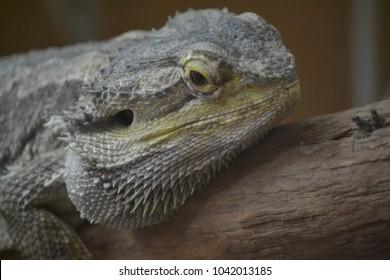 Cute Bearded Dragon