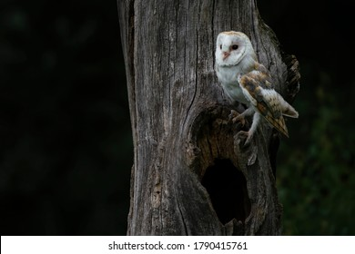 Cute and Beautiful Barn owl (Tyto alba) sitting on a hollow tree. Dark background. Noord Brabant in the Netherlands.