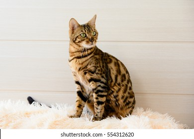 cute beautiful Bengal cat on the carpet