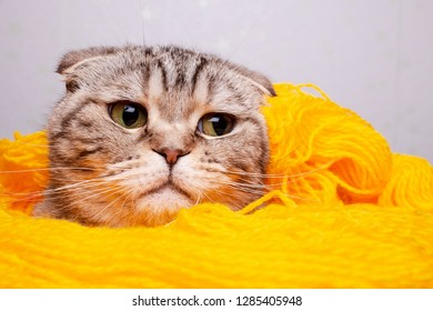 Cute, beautiful cat Scottish Fold stuck her head out of the yellow yarn of wool and looks with excitement. Close-up.