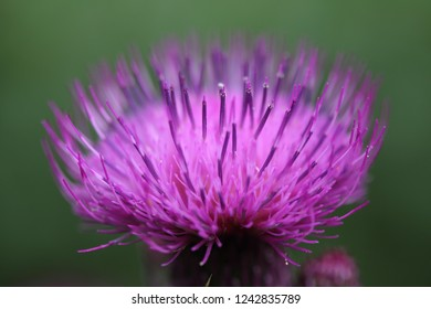cute and beautiful Cirsium picture background