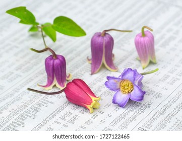 cute and beautiful Clematis texensis
