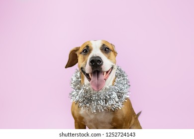 Cute beautiful dog in christmas tinsel around neck, pink background. Portrait of staffordshire terrier with new year decoration