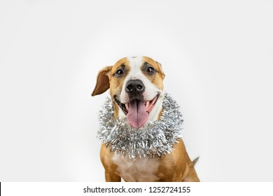 Cute beautiful dog in christmas tinsel around neck. Portrait of staffordshire terrier in white background with new year decoration