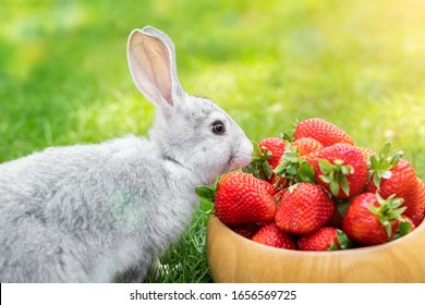 Cute beautiful gray fluffy rabbit sitting on green grass lawn backyard and smell, eat and tasting ripe red strawberry in wooden bowl. Small sweet bunny at garden sunny day. Easter animal background