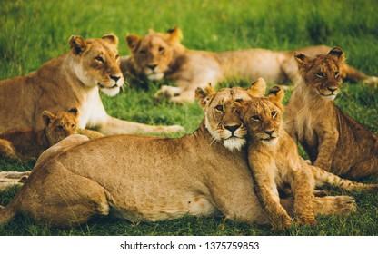 cute beautiful lion