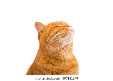 cute beautiful red cat on a white background