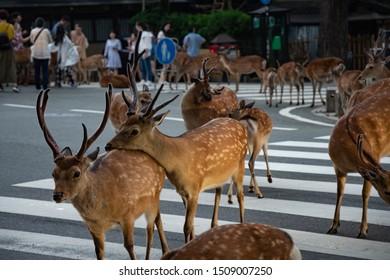 Cute and beautiful sika deers crossing a street around Temples in Nara Park, Nara Prefecture, Japan.