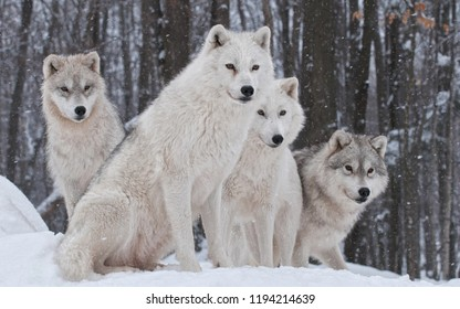 Cute and Beautiful Wolf, Timber wolf hunting in mountain, a pack of wolves in snow, A close-up photo of a menacing wolf with a yellow eyes, Beautiful eyes of a wild animal, snow