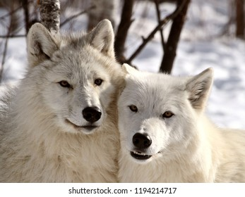 timber wolf images stock photos vectors shutterstock