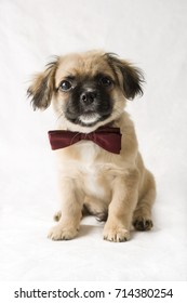 Cute beige and tan puppy wearing a bow tie