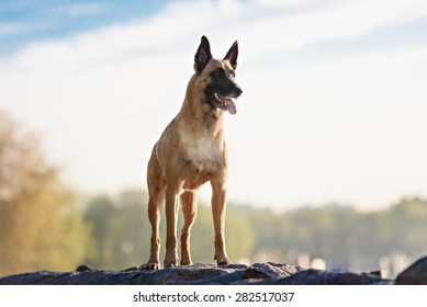 Cute Belgian Shepherd Dog, portrait in summer