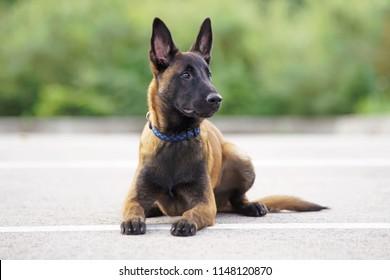 Cute Belgian Shepherd Malinois puppy with a collar lying down on an asphalt in summer