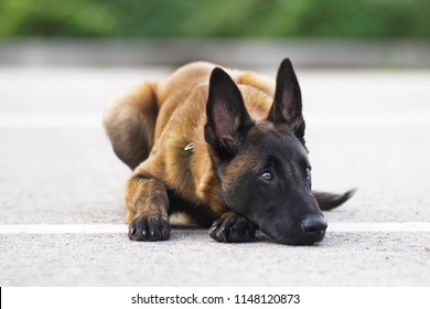 Cute Belgian Shepherd Malinois puppy with a collar lying down on an asphalt in summer