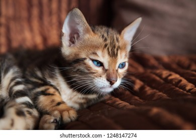 Cute bengal kitten at home