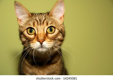 Cute Bengali kitten is looking straight into the camera.