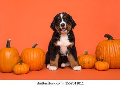 Cute Bernese mountain dog puppy sitting between orange pumpkins on an orange background
