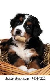 Cute bernese puppy