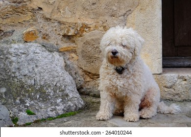 Cute bichon dog stanging on a street