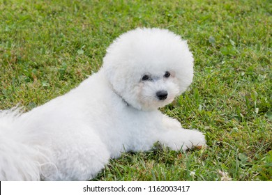 Cute bichon frise is lying on a green meadow. Purebred dog.