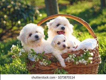 Bichon Frise Images, Stock Photos & Vectors | Shutterstock