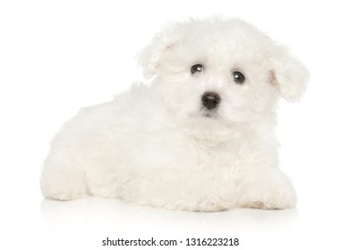 Cute Bichon Frise puppy lying on white background. Baby animal theme