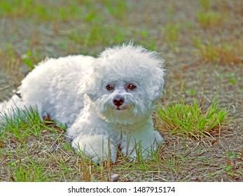 Cute Bichon Frise puppy lying in grass, watching, portrait