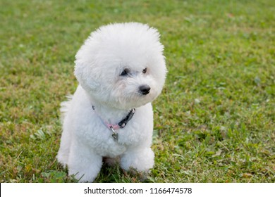 Cute bichon frise is sitting on a spring meadow. Purebred dog.
