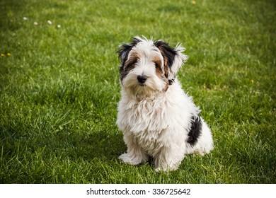 Maltese Yorkie Dog Images Stock Photos Vectors Shutterstock