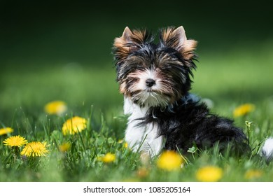 cute Biewer Yorkshire Terrier puppy running in the grass with dandelions