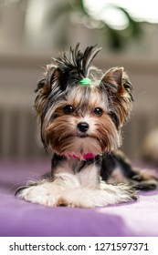 cute Biewer Yorkshire Terrier sitting or resting on a bed. Dogs portrait