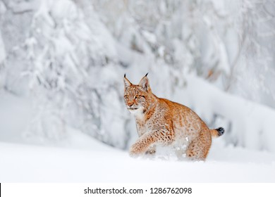Cute big cat in habitat, cold condition. Snowy forest with beautiful animal wild lynx, Poland. Eurasian Lynx running, wild cat in the forest with snow. Wildlife scene from winter nature.