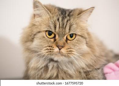 A cute big eyed jinra cat