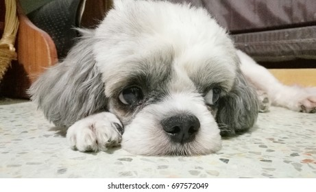 cute big face and eyes of white Shih Tzu sleep on the marble floor.