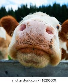 Cute big nose of a cow photographed up close with a wide angle lens