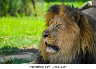 A cute big young brown lion relaxing in a nature reserve in South Africa