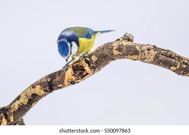 cute bird blue tit on branch white snow background Eurasian Blue Tit / Cyanistes caeruleus