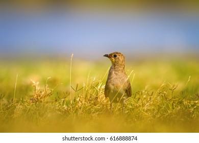 Cute bird.  Collared Pratincole / Glareola pratincola - Shutterstock ID 616888874