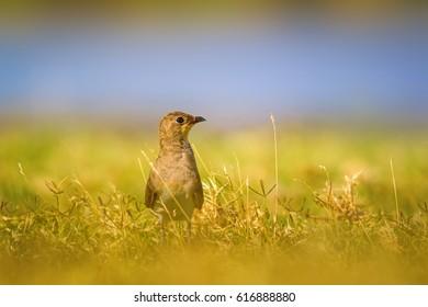 Cute bird.  Collared Pratincole / Glareola pratincola - Shutterstock ID 616888880