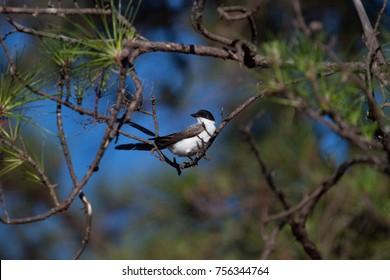 Cute bird. Fork-tailed Flycatcher perched on a branch of black pine. Brasilia, Brazil.