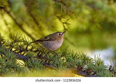 Cute bird. Goldcrest. Green pine tree background.