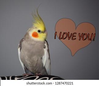 "Cute bird memes, ""I love you"", Cockatiel quote"