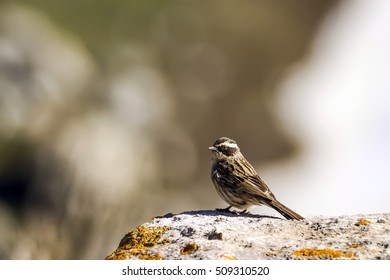 cute bird Radde`s Accentor