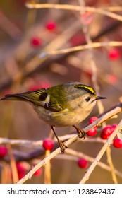 Cute bird. Red nature background. Goldcrest. Regulus regulus