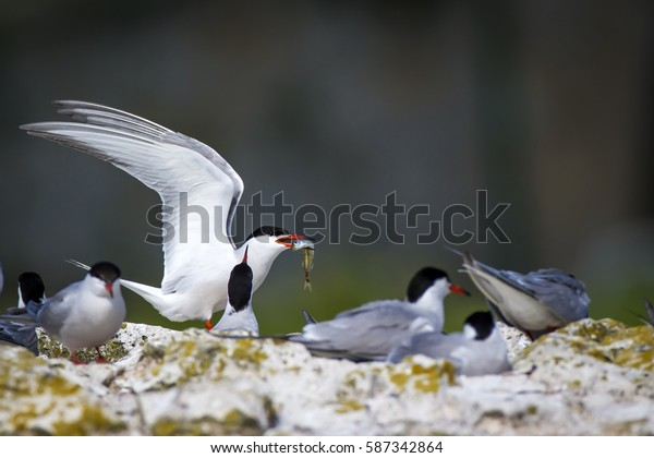 Cute bird tern. Bird nest. Bird mating Common Tern Sterna hirundo
