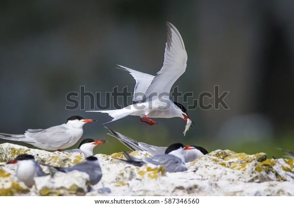 Cute bird tern. Bird nest. Bird mating Common Tern Sterna hirundo